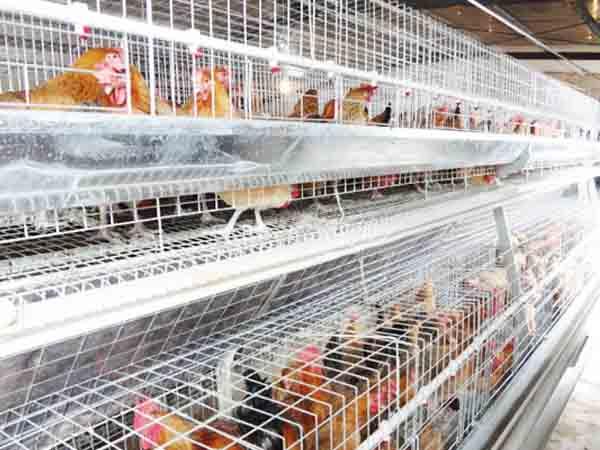 broiler breeder cages