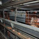 Broiler Growing Cages