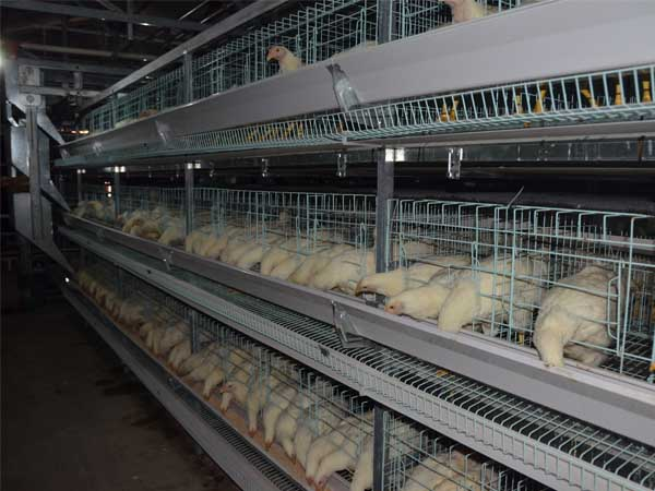 layer chicken cages