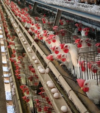 battery poultry systems