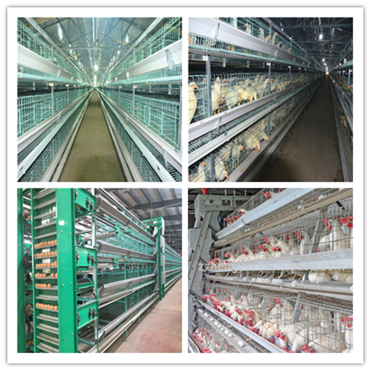 cage system in poultry equipment