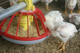 automatic chicken waterer and chicken feeder