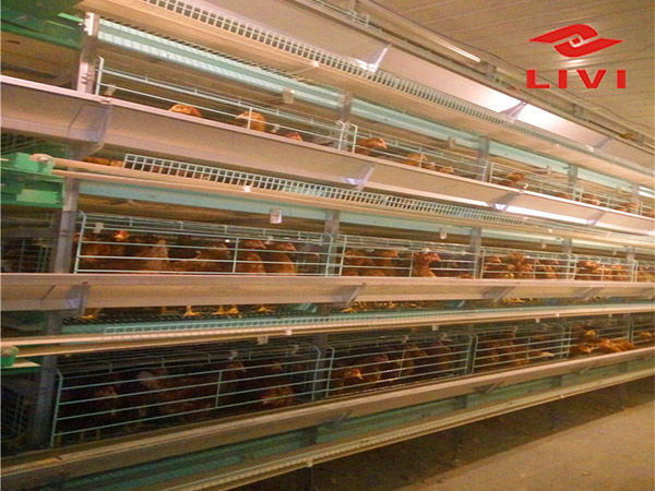 Livi chicken cage equipment are popular in chicken farming equipment.