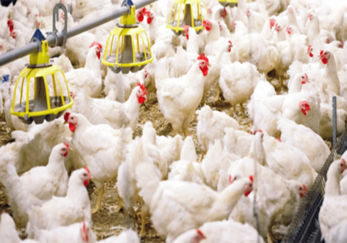 Good broilers can be feed in broiler flooring farm system.