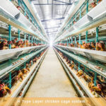 Fully Automated Battery Cages for Layers in South Africa