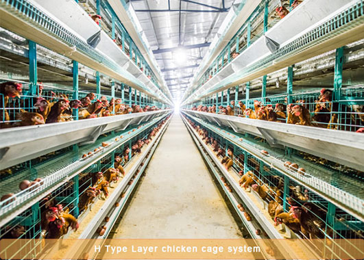 The fully automated chicken cages for your farms can give you much convenience and advanced equipment system.