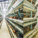Battery Cages – the Best Housing Cages for Laying Birds