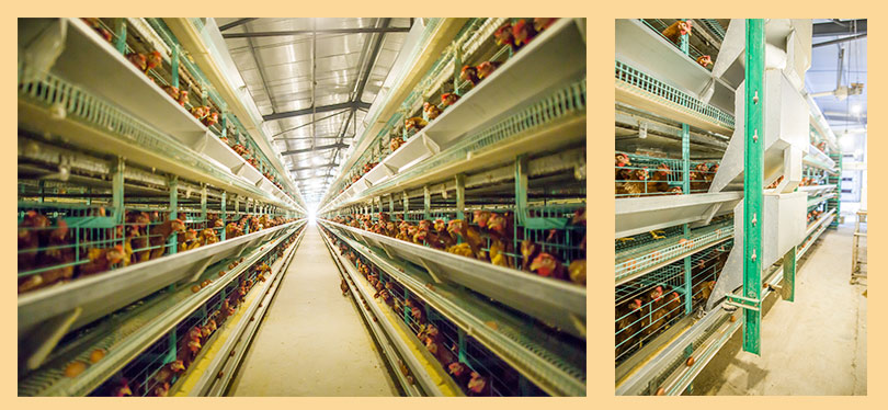 Poultry farming cages for layers farming are in large supply in Tanzania poultry market.
