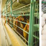 Poultry Egg Production Equipment | Layer Farming Cages in Philippines