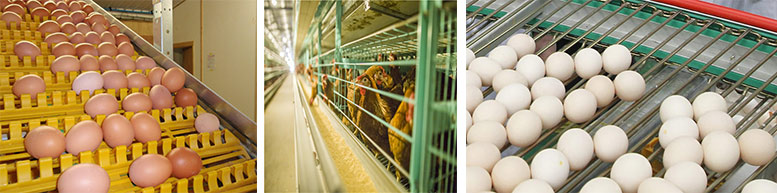 poultry farming equipment for egg laying birds